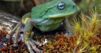 Phát hiện loài nhái túi mới trong rừng Amazon
