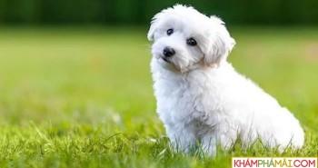 Top 10 giống chó nhỏ nhất trên thế giới