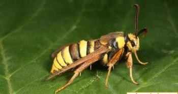 Bạn nghĩ đây là một con ong bắp cày khổng lồ? Ồ không đâu, thực chất đây chỉ là một loài bướm đêm