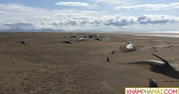 Bí ẩn hàng loạt xác cá voi chết dạt vào bờ không lý giải nổi