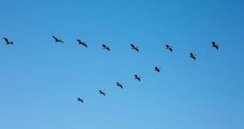 """Hàng trăm con chim di cư """"chết oan"""" vì hạ cánh nhầm lẫn"""