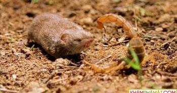 """Chuột chù đối đầu bọ cạp """"sát thủ"""" trong trận chiến sinh tử"""