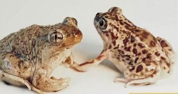 Lần đầu tiên phát hiện cóc giao phối khác loài