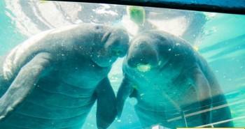 Lợn biển chết hàng loạt ở Florida vì cạn kiệt thức ăn