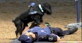Chó đặc nhiệm hô hấp nhân tạo cứu người