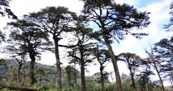 Phát hiện quần thể cây thiết sam quý hiếm ở Lào Cai